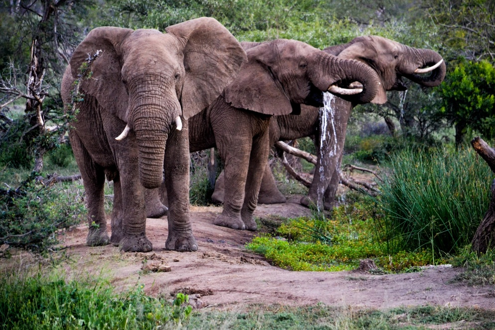 Elephants drink at the waterhole